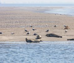 Seals in Wadden Sea and Islands